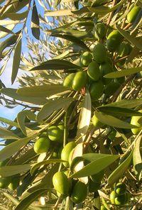 rameau olives