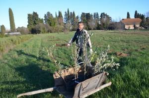 plantation oliviers 2
