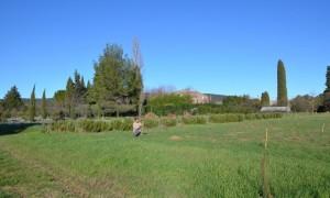 plantation oliviers
