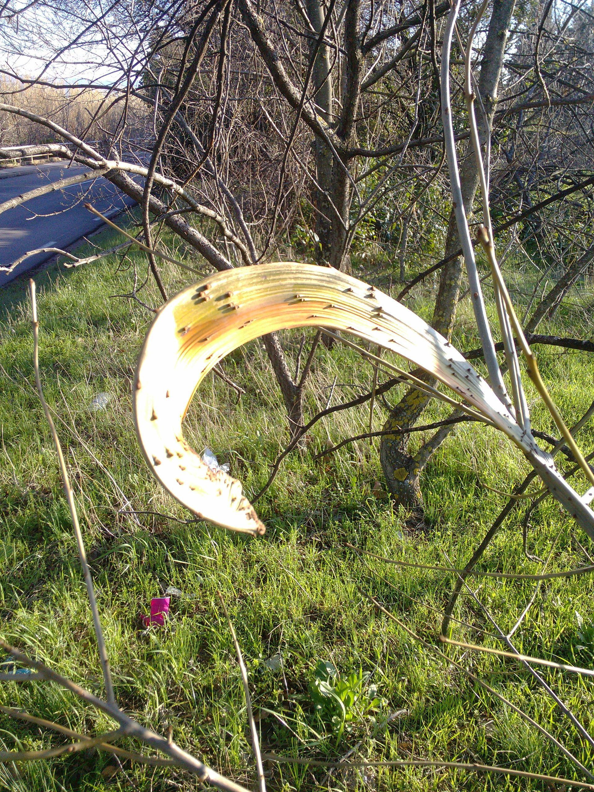 déformation du frêne
